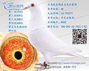 [带血统书]台湾名家纯白台鸽