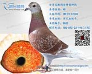 台湾百胜鸽舍特留种鸽