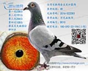 台湾百胜鸽舍五关归巢鸽