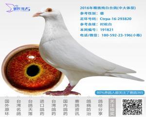 2016年精挑纯白台鸽-雄-编号191821