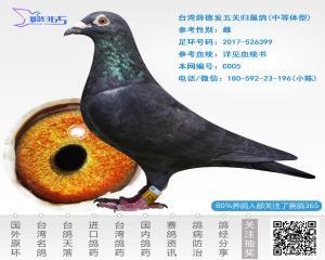 台湾薛德发五关归巢鸽