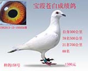2013年白黄眼成绩鸽