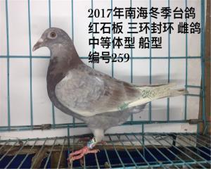 已售浙江 2017年南海冬季精选台鸽