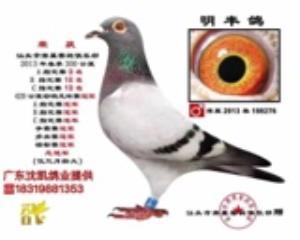 凡布利安娜超级种雄,子代已发挥20多羽成绩鸽