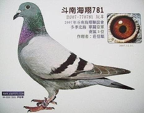 台湾长城兄弟国际鸽舍-铭鸽展厅-信鸽中国www.xinge